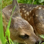 Fawn | Image by Horst Grasser