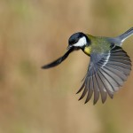 Great tit | Photo of Daniel Montanus
