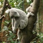 Koalabär schläft bis zu 20 Stunden  Foto: Gregor Czodrowski