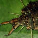 Der Ameisenlöwe