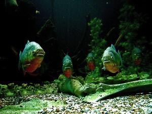 Piranhas in der Erft