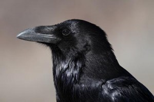 Corvus_corax_head_profile