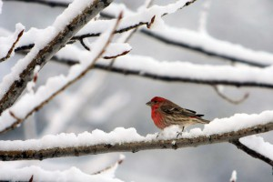 Bird_in_Snow